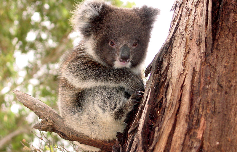 Koalas Kangaroo Island Wilderness Tours