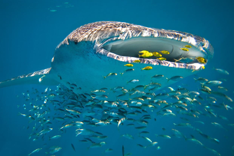 Sal Salis Ningaloo Reef - Whale Shark