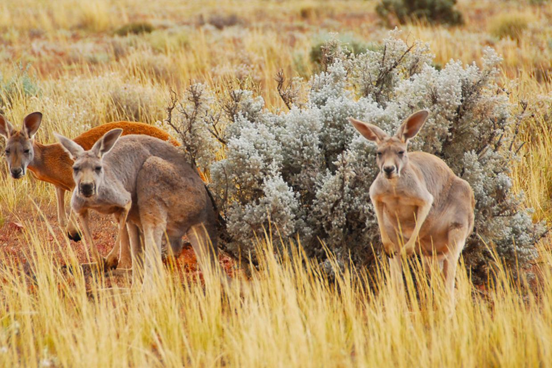 Wildnerness Safaris Wildlife and kangaroos